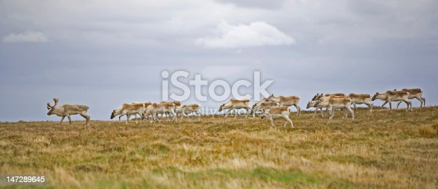 Barren ground Caribou herd. Bull with his females. Canada, Newfoundland.