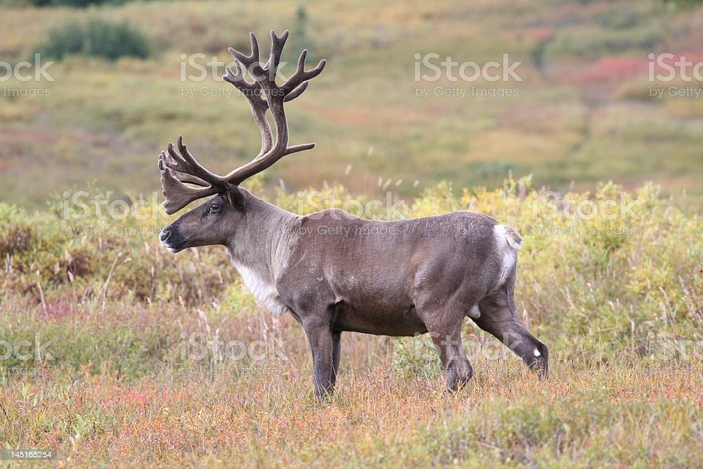 Caribou in Denali during the fall royalty-free stock photo