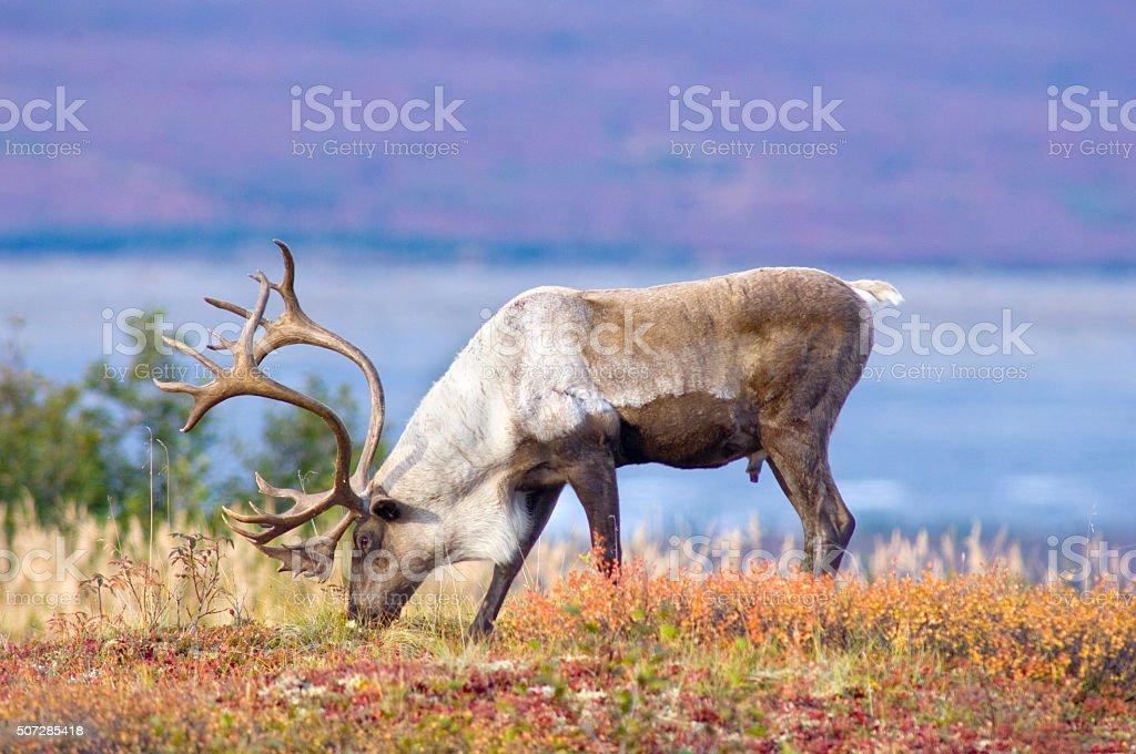Caribou on Fall Tundra stock photo
