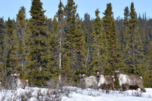 Caribou on the move stock photo