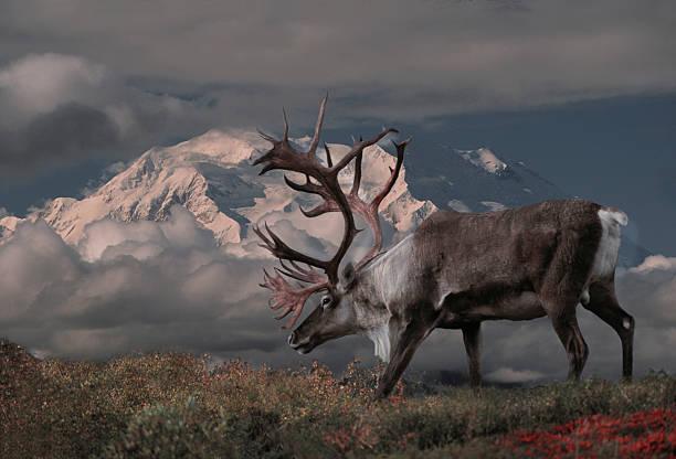 caribou - rendier stockfoto's en -beelden