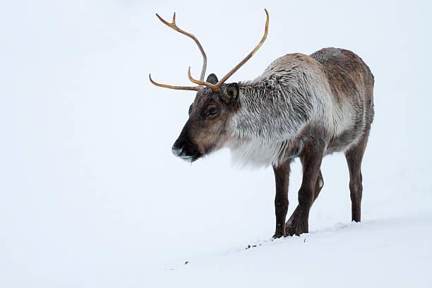 caribou - rentier stock-fotos und bilder