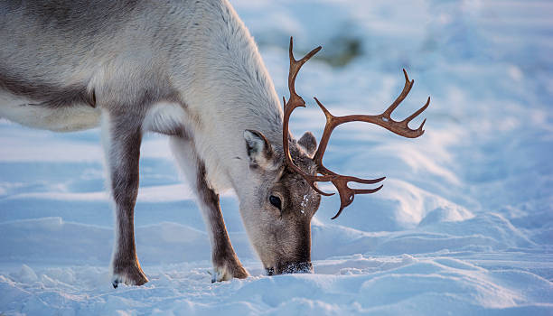 caribou - norrbotten bildbanksfoton och bilder