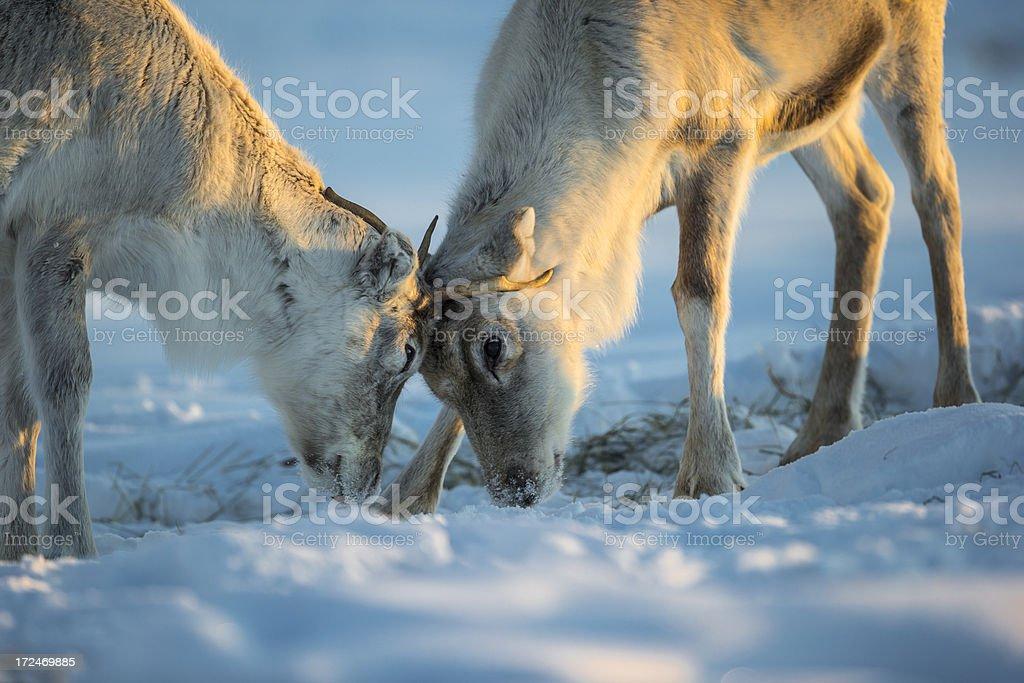 Caribou royalty-free stock photo