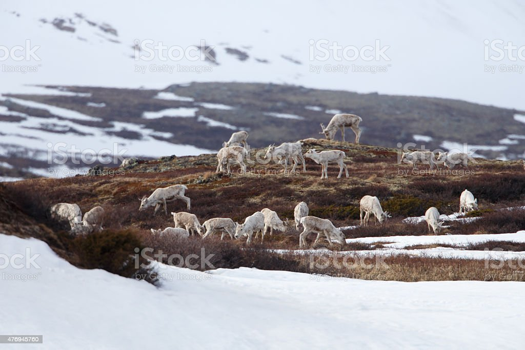 Caribous eating in Dovrjefell mountains in Norway stock photo