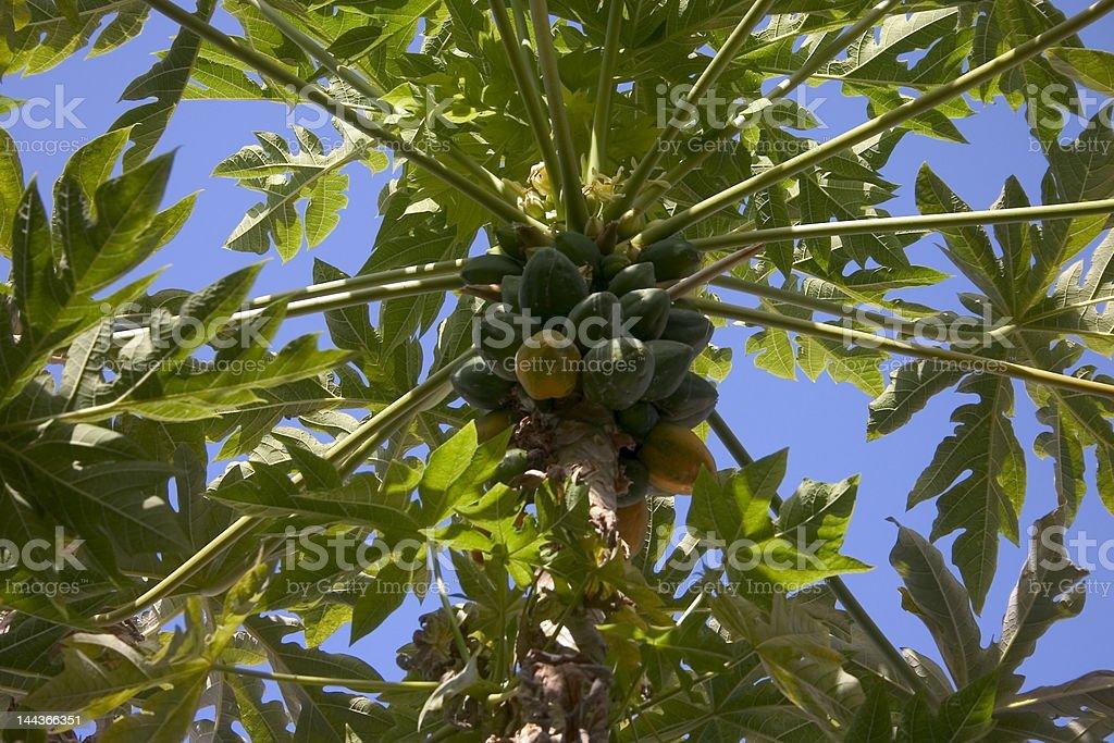 Carica papaya tree stock photo
