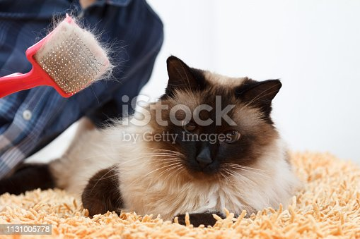 Caring for cat fur. Hand combing by comb fluffy cat. Taking balinese care of domestic pet.