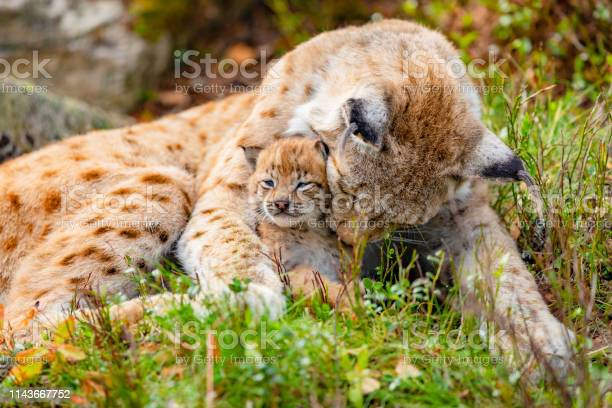 Caring lynx mother and her cute young cub in the grass picture id1143667752?b=1&k=6&m=1143667752&s=612x612&h=2vmstdp2i omwhn3felyfs8arzjiabke2o8vqw8ridy=
