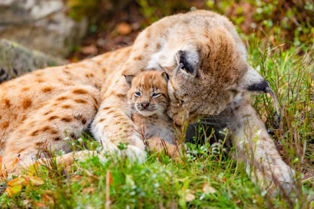 Fürsorgende Luchsmutter und ihr niedlicher junger Junge im Gras – Foto