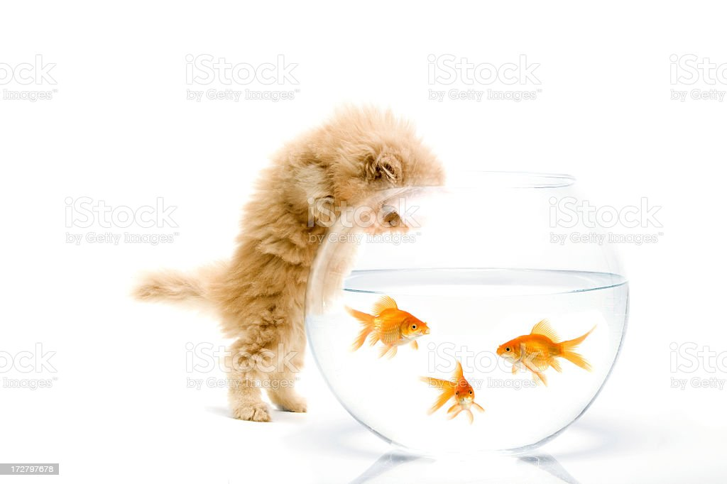 carious cat royalty-free stock photo