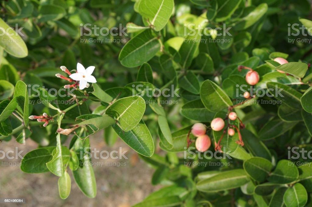 Carissa carandas plant foto stock royalty-free