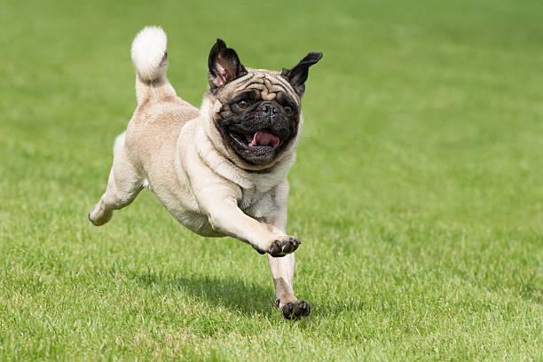 Carlin dog is running picture id489872124?b=1&k=6&m=489872124&s=612x612&w=0&h=oo6nvdbgeee3njfinihhjo7ftegcwerdck kkna0zno=