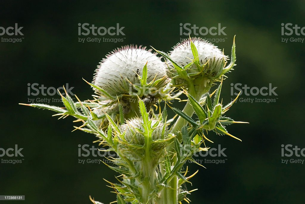 Carline thistle, Carlina acaulis royalty-free stock photo