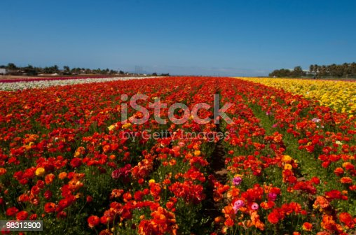 Carlsbad Flower Fields Stock Photo & More Pictures of Backgrounds
