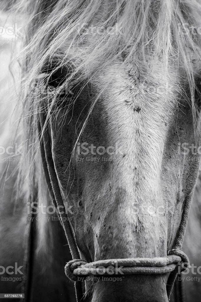 Carmargue Horse stock photo