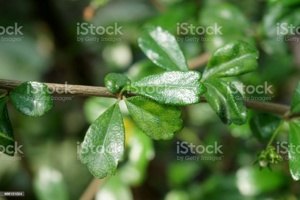 carmona retusa leaf - Foto stock royalty-free di Albero