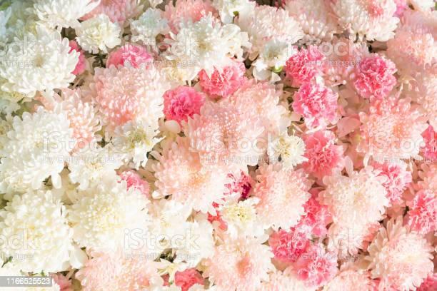 Carnation flower and chrisanthemum flower picture id1166525523?b=1&k=6&m=1166525523&s=612x612&h=31jw7jnolykpb09xjhbbifvtfl78j5h1gjtp6dncfo8=