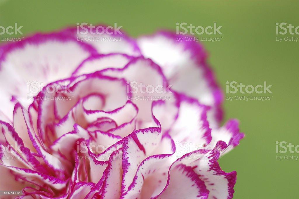 Nelke Blume Makro – Foto