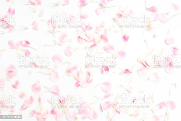 Carnation flower petals on white background picture id1072278646?b=1&k=6&m=1072278646&s=612x612&h=qg0omeuvipyrcfu h ct4 rsmg piqsfkkffl69 wry=