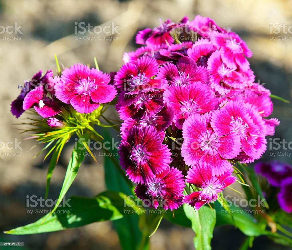 carnation flowers on blurred background stock photo