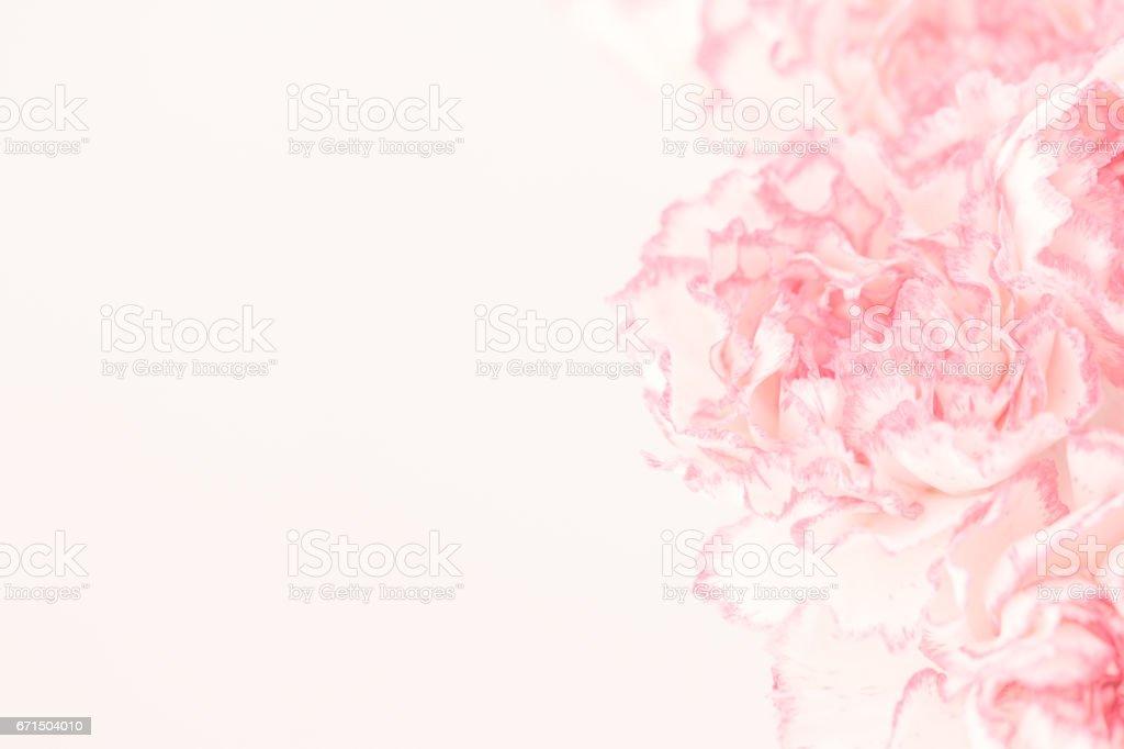 Carnation Flowers. stock photo