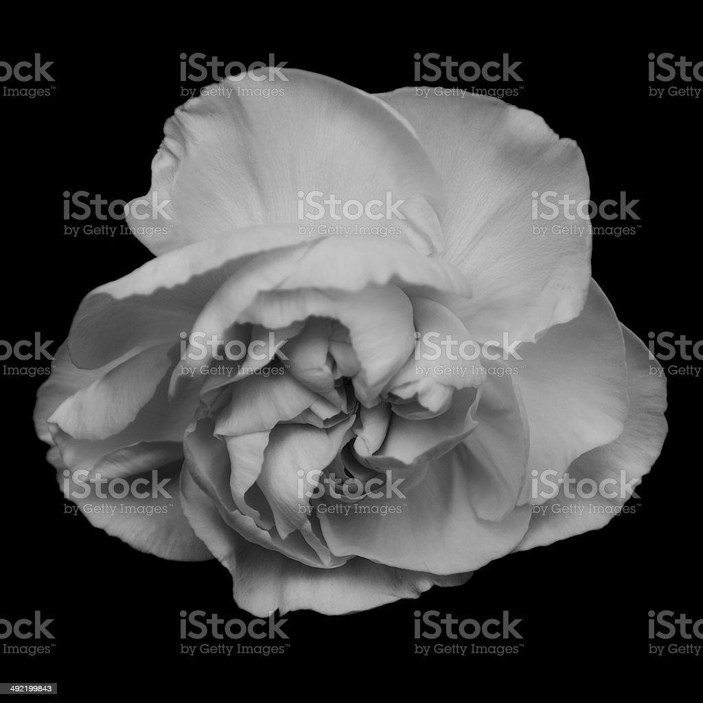 Carnation In Full Bloom stock photo