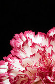 Flower, Plant, Single Flower, Black Background, white, pink