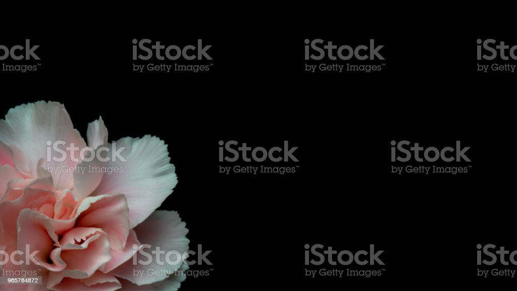 Carnation on Mother's Day - Royalty-free Beauty Stock Photo