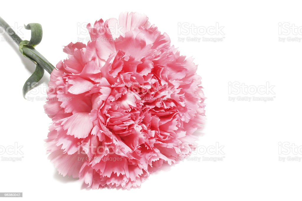 carnation on white royalty-free stock photo