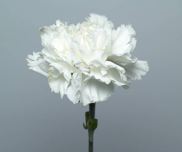 Royalty Free White Carnation Pictures Images And Stock Photos Istock
