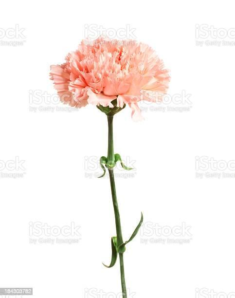 Carnation picture id184303782?b=1&k=6&m=184303782&s=612x612&h=1z0sijwz64zqb 65d6kk1gjenz8r26elyhyvgu8x6nq=