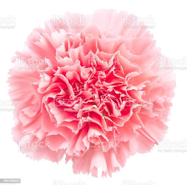 Carnation picture id185266502?b=1&k=6&m=185266502&s=612x612&h=ijftzeem 7auliihbrwgwmpielmbexhrlwxwte8xjro=