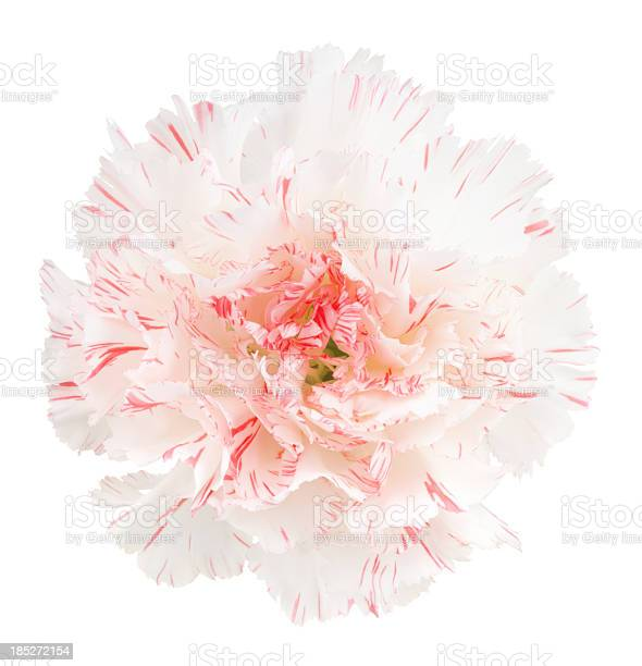 Carnation picture id185272154?b=1&k=6&m=185272154&s=612x612&h= ny9neseyseodpof1tgppvnxwxeljh3ee0 iksywu0y=