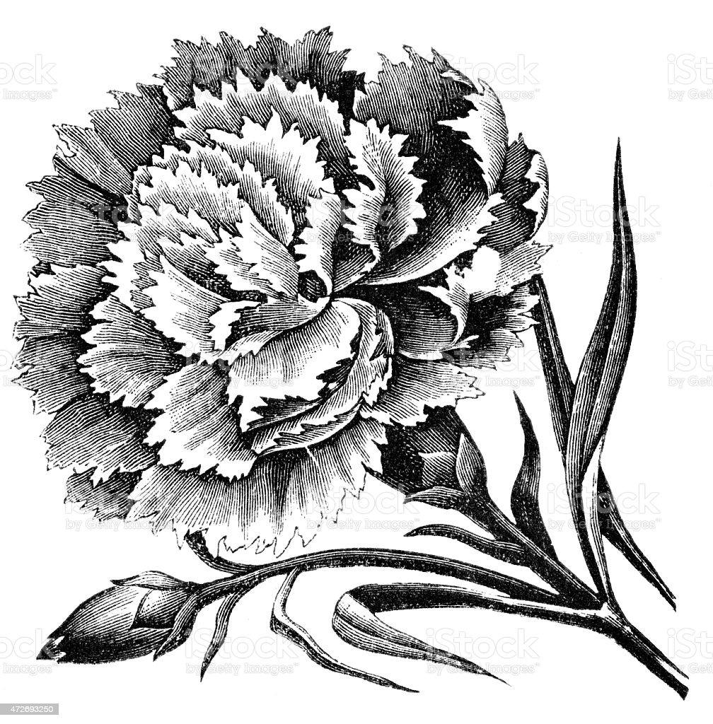 Carnation stock photo