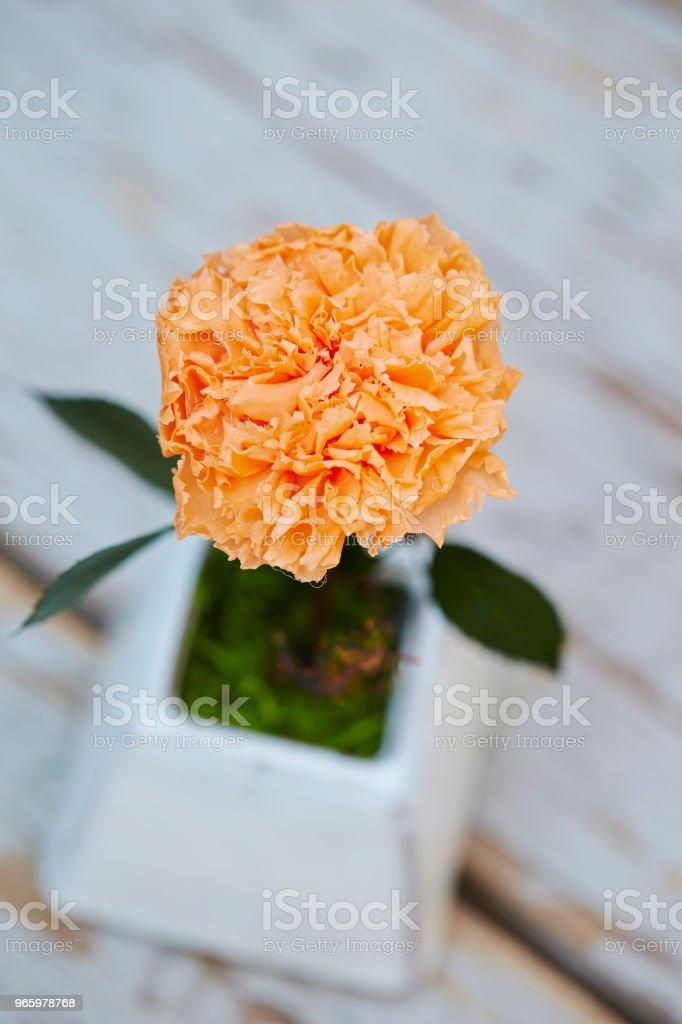 Carnation - Royalty-free Beauty Stock Photo