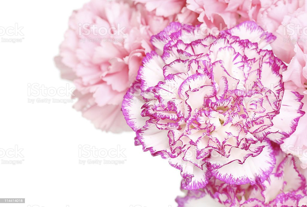 carnations royalty-free stock photo