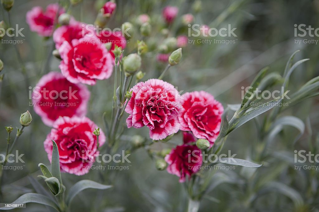 Carnations foto de stock libre de derechos