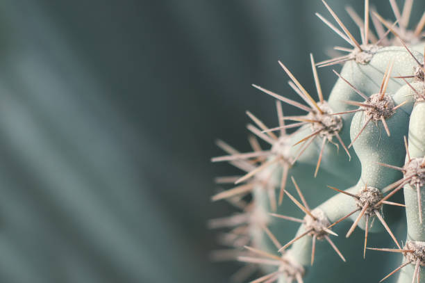 Carnegiea cactus. Background with desert cactus. Thorns on succulent plant. Green color Carnegiea cactus. Background with desert cactus. Thorns on succulent plant. Green color romani people stock pictures, royalty-free photos & images