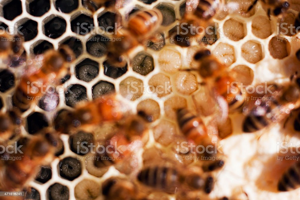 Carniolan Wet and Capped Brood Comb royalty-free stock photo
