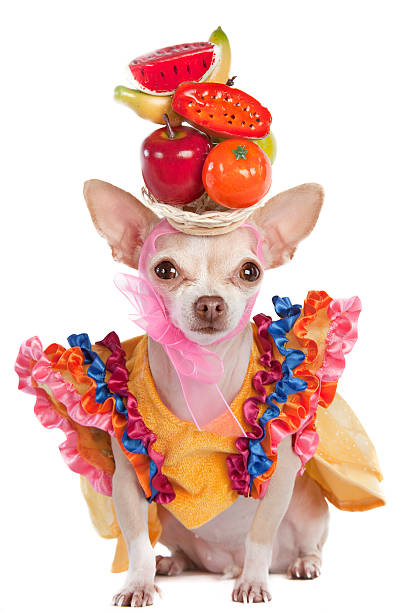 carnival  short haired chihuahua stock pictures, royalty-free photos & images