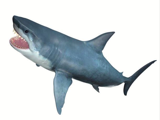 carnivore great white shark - carnivora stock photos and pictures