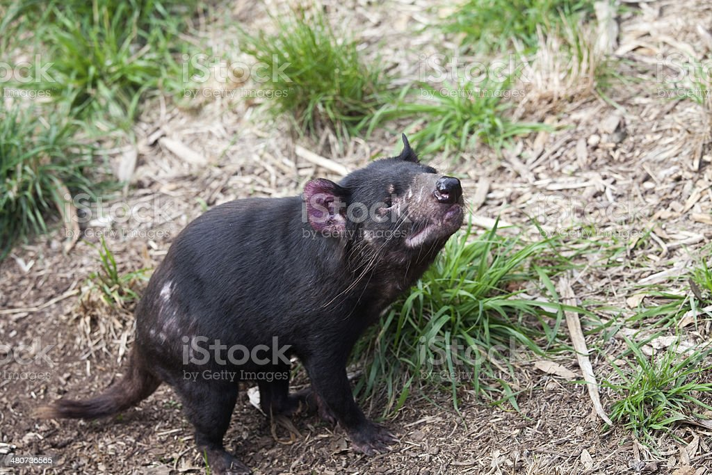 Carnivore-Tasmanian Devil stock photo