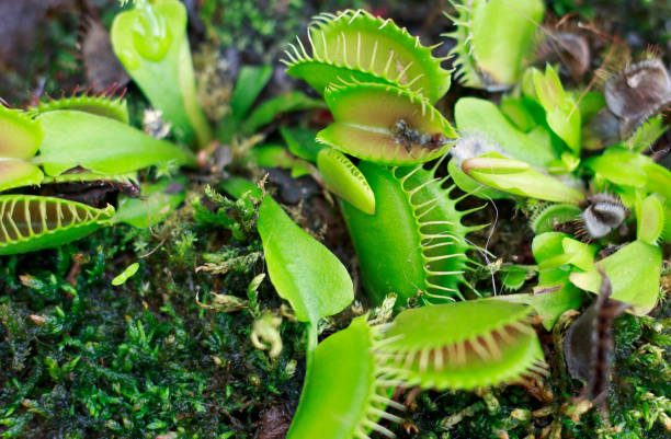 carnivorous green plant - carnivora stock photos and pictures