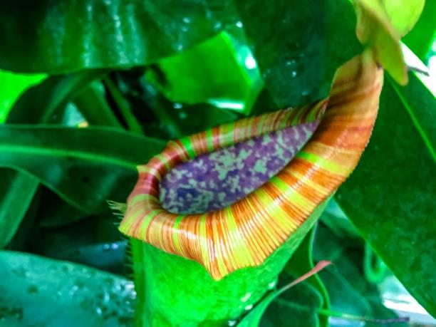 fleischfressende pflanze _ tropischen kannenpflanzen - seltene pflanzen stock-fotos und bilder
