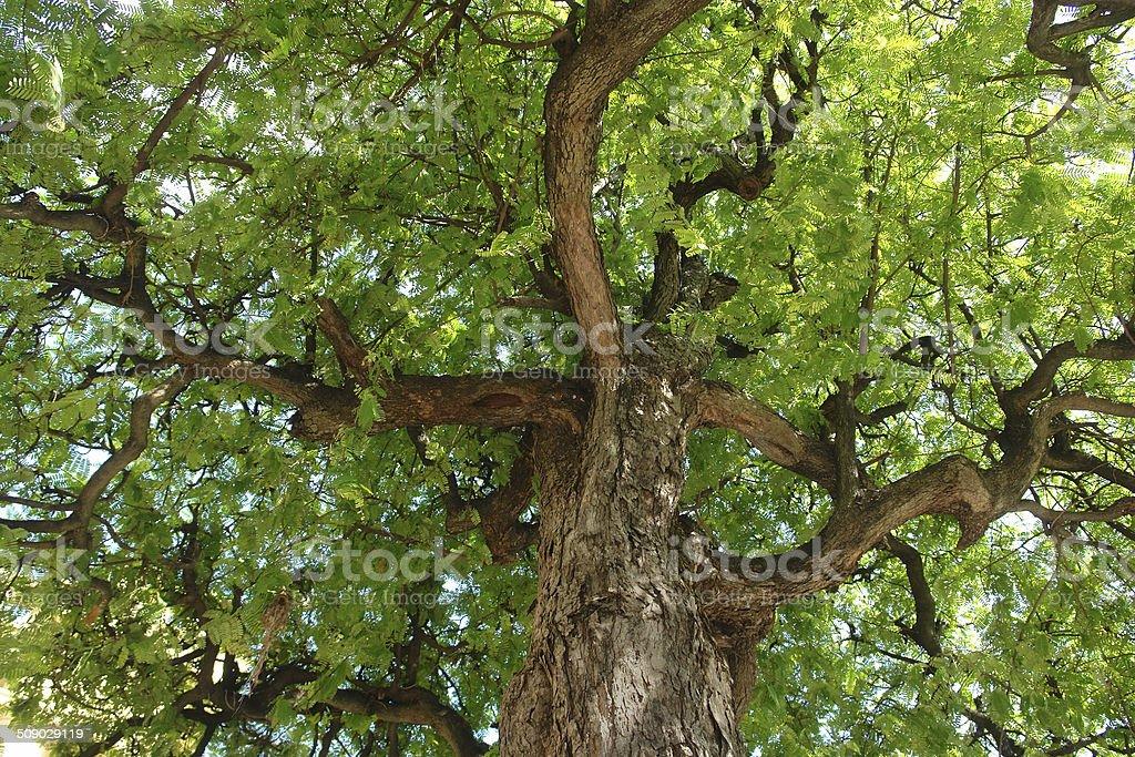 Alfarroba nas copas das árvores - foto de acervo