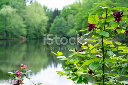 A view of a Carolina Allspice plant in bloom on edge of tranquil pond with spring foliage on trees in background