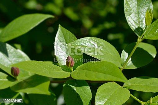 Carolina allspice flower - Latin name - Calycanthus floridus