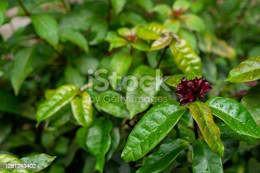 Carolina allspice  sweetshrub flower with copy space. Latin name Calycanthus floridus