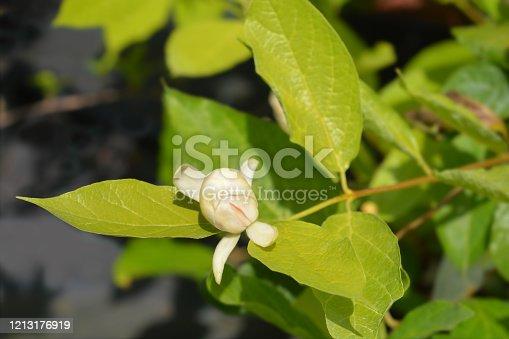 Carolina allspice Venus flower - Latin name - Calycanthus floridus Venus