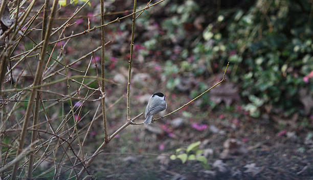 carolina chickadee bird perches on branch - pam schodt stock photos and pictures